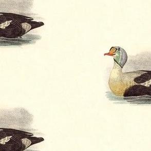 The King Duck Bird - Birds / Ducks & Geese (Goose)