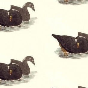 The Surf Duck (Coot) Bird - Birds / Ducks & Geese (Goose)