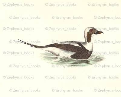 The Oldwife Bird - Birds / Ducks & Geese (Goose)