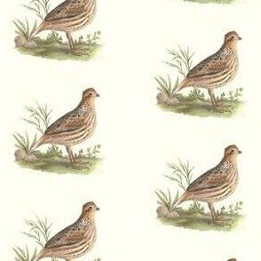 The American Quail - Bird / Birds