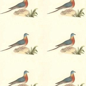 The Passenger Pigeon (Wild Pigeon)  - Extinct Bird / Birds