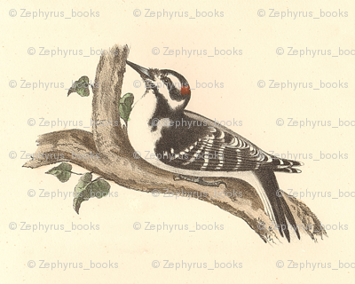 The Hairy Woodpecker - Vintage Bird / Birds Print
