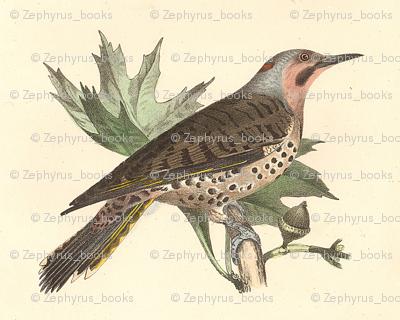 The Northern Flicker - Vintage Bird / Birds Print