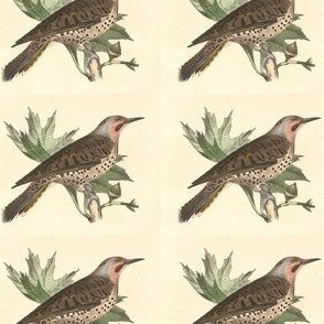 The Northern Flicker - Vintage Bird / Birds Print