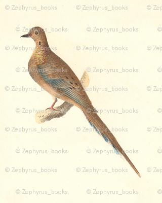 The Mourning Dove (Carolina Turtle Dove) - Bird / Birds