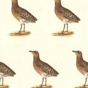 The New-York Rail - Bird / Birds