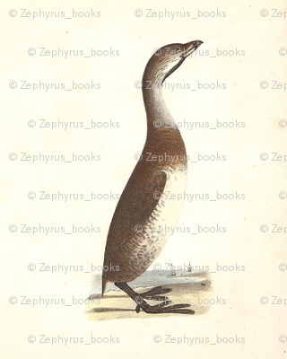 The Dipper - Vintage Bird / Birds Print