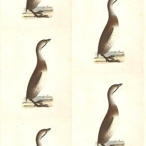 The Dipper - Vintage Bird / Birds Print