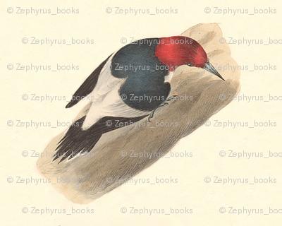 The Red-headed Woodpecker - Vintage Bird / Birds Print