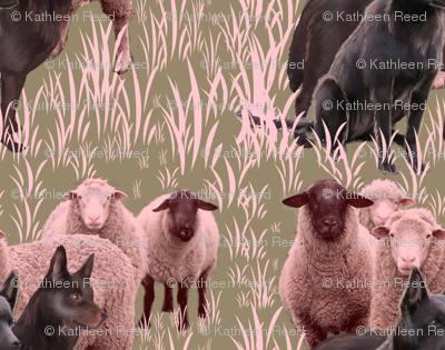 Australian Kelpies and Flock of Sheep