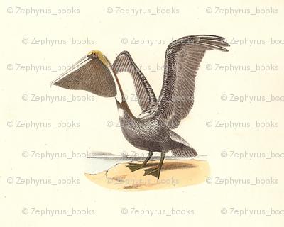 The Brown Pelican - Vintage Bird / Birds Print
