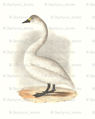 The American Swan - Vintage Bird / Birds Print