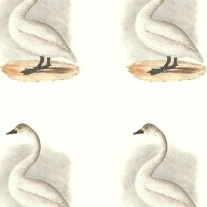 The American Swan - Vintage Bird / Birds Print