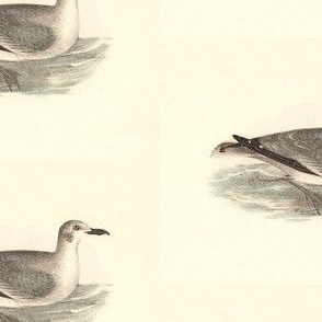 The Laughing Gull - (Seagull or Sea Gull) Vintage Bird / Birds Print