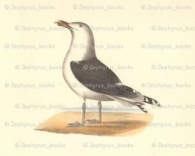 The Great Black-backed Gull - (Seagull or Sea Gull) Vintage Bird / Birds Print