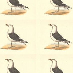 The Great Black-backed Gull - (Seagull or Sea Gull) Vintage Bird / Birds Print