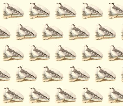 Bonaparte's Gull - (Seagull or Sea Gull) Vintage Bird / Birds Print fabric by zephyrus_books on Spoonflower - custom fabric