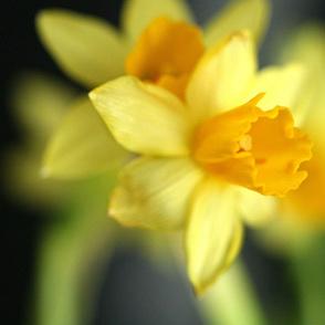 Daffodils_2_9975