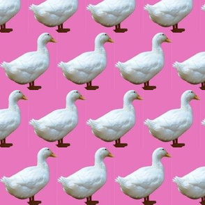 White Duck on Pink