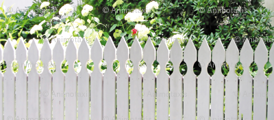 White Picket Fence With A Red Rose, S