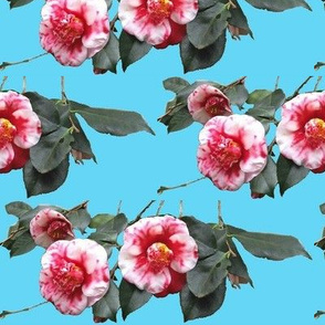 Camellias on blue