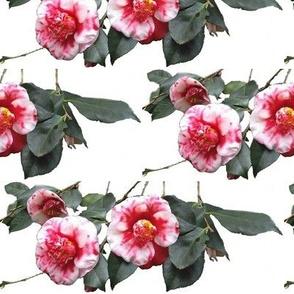 Camellias on White