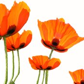 Rrlamp_poppies2_shop_thumb