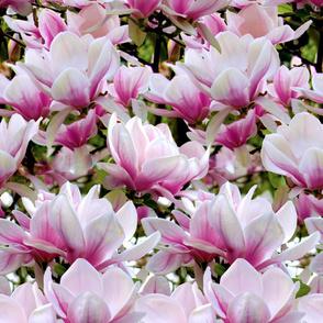 Huge Magnolias
