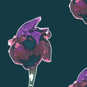 Night iris