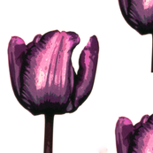 Violet velvet tulip