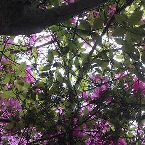 New England Azalea