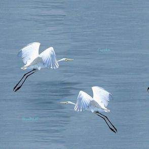 Eureka Egrets