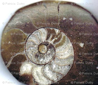 Ditsy Morrocan Ammonites