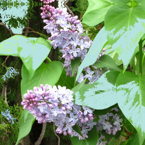 Lilac_with_light_leaves