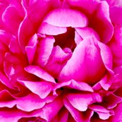 Rrrpeony_square_shop_thumb