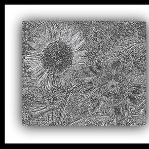 Sunflowers in Black and White
