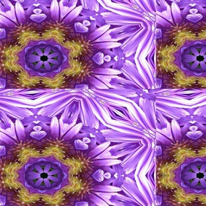 Aster_a-ed