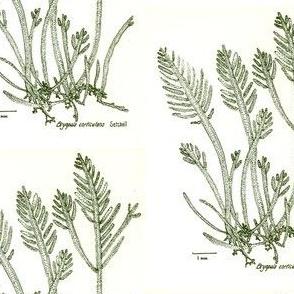 Bryopsis-drawing200-4x5