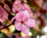 Rrpink_crab_apple_blossom_by_emilymhanson-d4xmakx_thumb