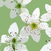 Rrblackberry_blossom3_shop_thumb