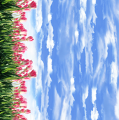 Pink Tulip Border Print with Blue Cloudy sky