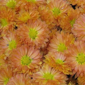 Chrysanthemum - Light Orange
