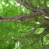 Rrbig_tree_lookingup_sideways_fat_qtr_shop_thumb