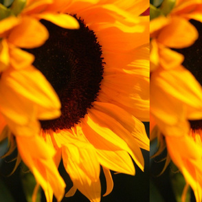 Sunflower Kissed by the Sun-ed