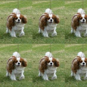 Cavalier Running