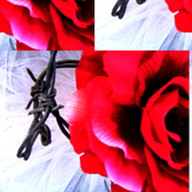 Red Rose with Barbed Wire