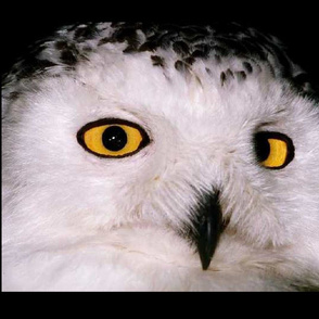 WHOOT OWL