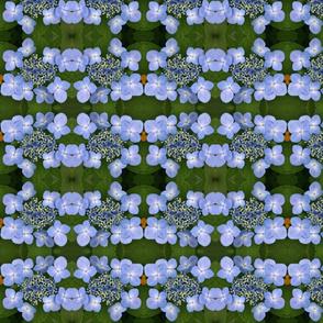 Blue Lace Cap Hydrangeas_3135