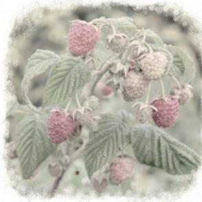 Raspberry solo
