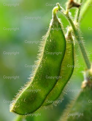 Soybeans_preview